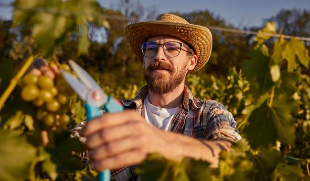 Bearded winemaker harvesting grapes on farm