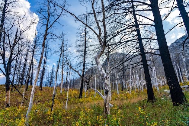 Осенняя пешеходная тропа медвежьего горба после лесного пожара кеноу. национальный парк уотертон-лейкс, альберта, канада.