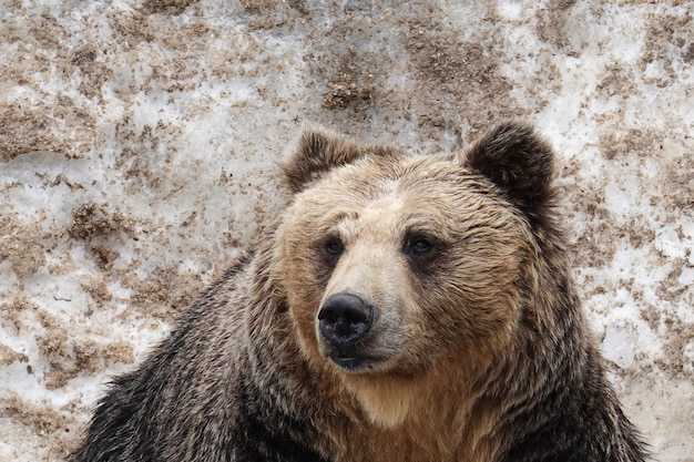 Bears in noboribetsu bear park in ,hokkaido, japan.
