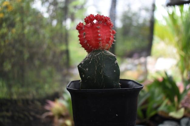 아름다운 미니 붉은 선인장 gymnocalycium mihanovichii variegata