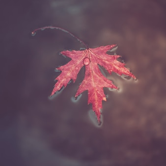 Beatiful red marple leaf with raindrops on it floats on the surface of the water.