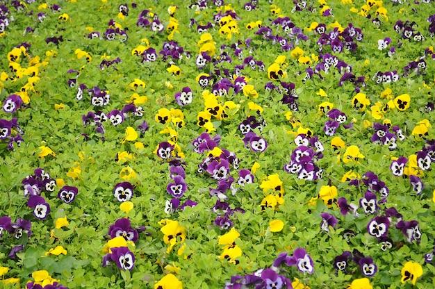 Цвет поля beatiful анютины