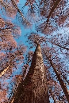Beautifful view of red pine trees in campos do jordao, sao paulo, brazil
