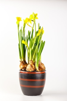 Beautifil daffodils in a flower pot isolated on white