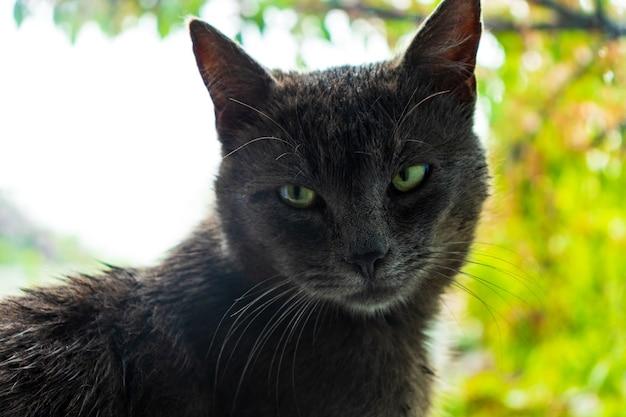 큰 노란색 녹색 눈을 가진 아름다운 성인 고양이 소녀 입과 목 주위에 흰색 모피와 세로 회색 줄무늬 고양이 창에 누워 포즈 애완 동물 건강하고 귀여운 쾌활한 집에서