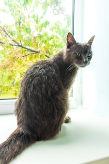 Красивая взрослая девочка-кошка с большими желто-зелеными глазами. портрет. серый полосатый кот с белым мехом вокруг рта и шеи позирует лежа на окне. домашнее животное здоровый милый веселый дружелюбный дома.