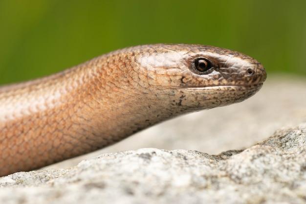 Beautiful adult slowworm legless lizard on the rock in a green meadow