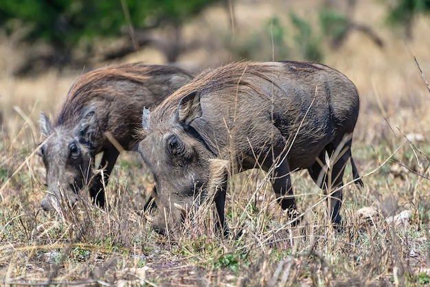 Beautiful of the african common warthogs spotted on a grassy plain