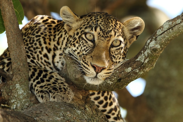 Beautiful african leopard on a branch of a tree