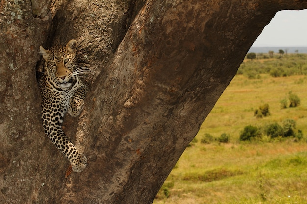 Beautiful african leopard sitting on a big tree trunk in the middle of the jungle