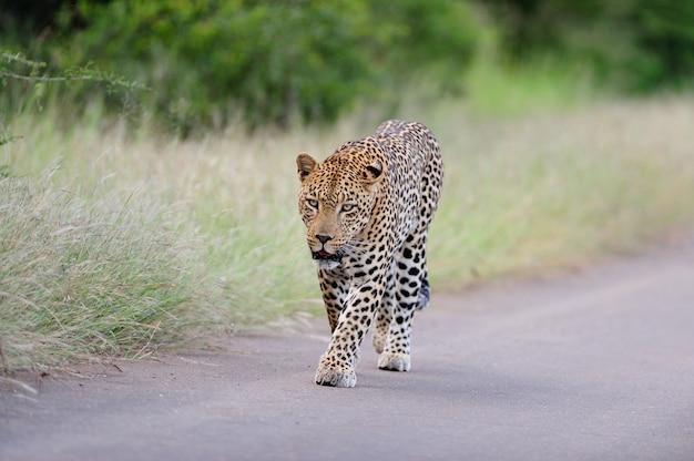 Красивый африканский леопард гуляя на дорогу окруженную травянистыми полями и деревьями