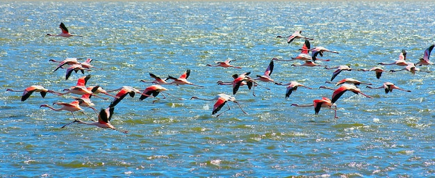 Beautiful african pink flamingos flying over the sea