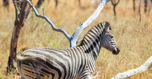 Bellissima zebra africana in un safari in sudafrica