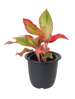 Beautiful aglaonema houseplant(chinese evergreen) in black  container isolated on white with cliiping path