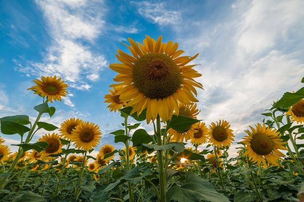 Красивый сельскохозяйственный пейзаж, вид на сельхозугодья с полем подсолнухов и величественное небо