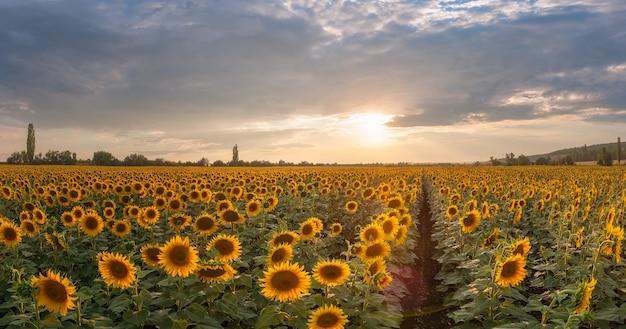 아름다운 농업 풍경, 해바라기 밭과 장엄한 하늘이있는 농지보기