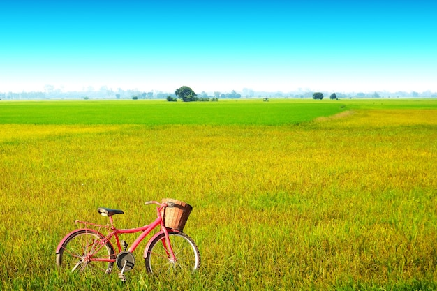 Beautiful agriculture jasmine rice farm in the morning blue sky white cloud and red bicycle