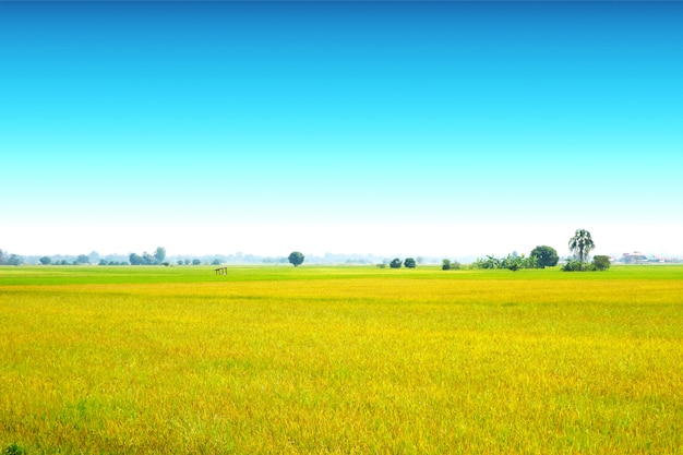 Beautiful agriculture jasmine rice farm and soft fog in the morning clear blue sky white cloud