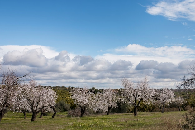 Beautiful almond trees