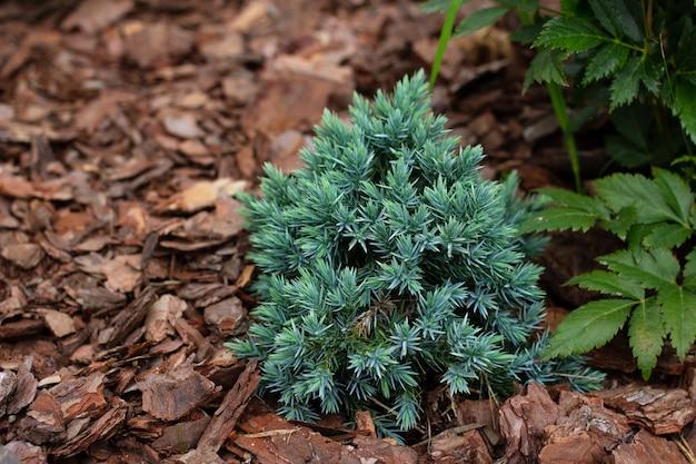 Beautiful alpine plant blue star juniper in garden with decorative pine bark chips mulch