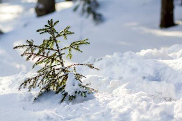 Beautiful amazing christmas winter mountain landscape. small young green fir trees covered with snow and frost on cold sunny day on clear white snow and blurred tree trunks copy space background.