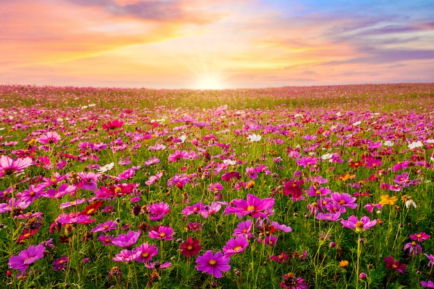 Beautiful and amazing of cosmos flower field landscape in sunset