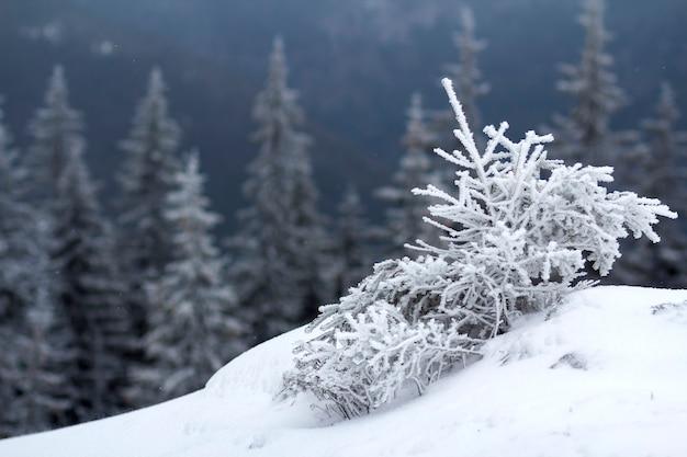Красивый удивительный горный зимний пейзаж. маленькое молодое дерево в глубоком снегу, согнутое ветром, покрытое инеем в холодный морозный солнечный день на темном размытом космическом фоне елового леса.