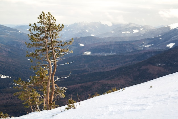 Beautiful amazing wide view winter landscape. tall pine tree alone on mountain steep slope in deep snow on cold frosty sunny day on copy space background of cloudy sky and woody mountains panorama.