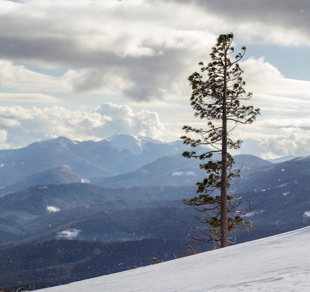 Beautiful amazing wide view winter landscape. tall pine tree alone on mountain steep slope in deep snow on cold frosty sunny day on copy space of cloudy sky and woody mountains