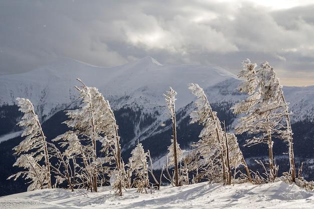 Красивый удивительный зимний пейзаж. малые молодые деревья покрытые снегом и заморозком на холодный солнечный день на предпосылке космоса экземпляра лесистого гребня снежной горы и облачного бурного неба.
