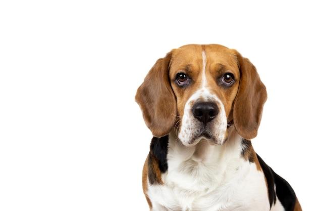 Красивая американская бигль собака сидит на белом фоне, глядя в камеру