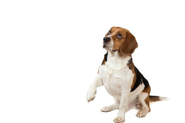 白い背景の上に座っている美しいアメリカのビーグル犬