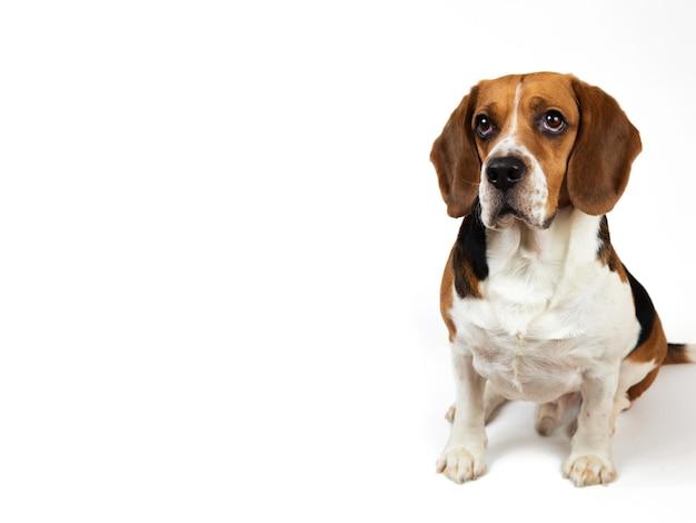白の上に座っている美しいアメリカのビーグル犬