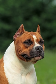 Beautiful american staffordshire terrier dog.