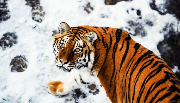 눈에 아름 다운 아무르 호랑이. 겨울에 호랑이. 위험 동물과 야생 동물 장면.
