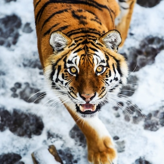 Beautiful amur tiger on snow. tiger in winter forest