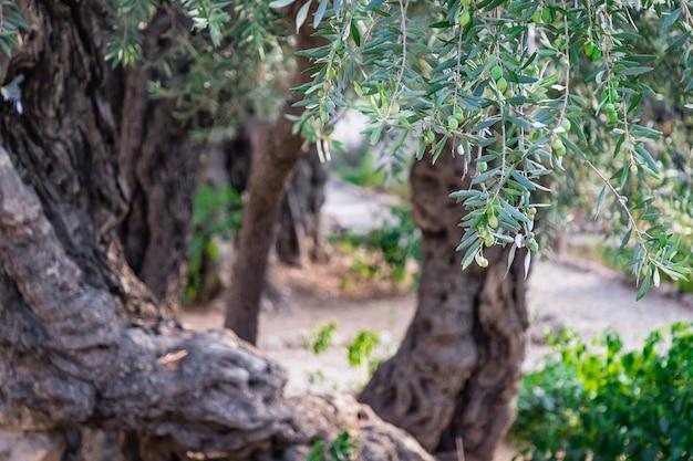 イスラエルのエルサレムのゲッセマネ庭園にある美しい古代オリーブの木