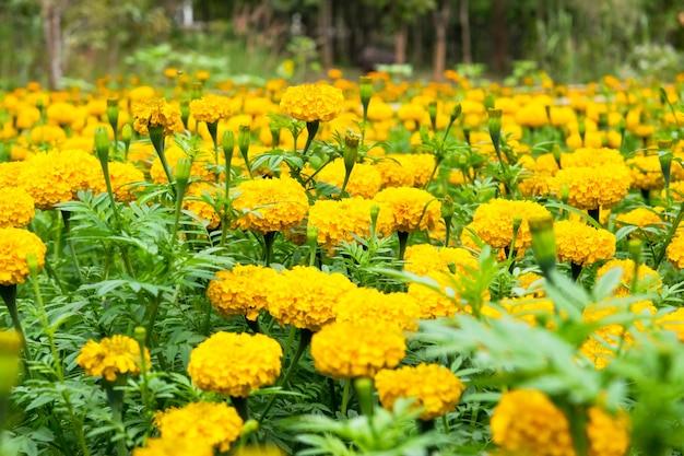 美しくカラフルな黄金色のマリーゴールドの花。