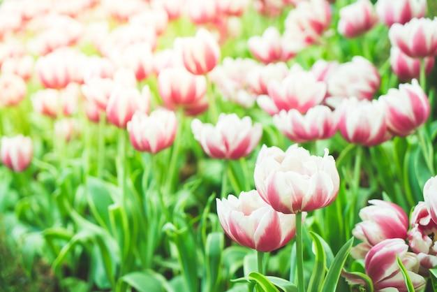 庭の美しくカラフルなチューリップ