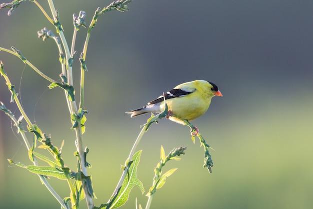 Красивая и красочная птица американский щегол