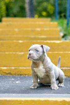 Bulli красивого и милого щенка американское на конкретной предпосылке, городских лестницах. концепция первый опыт, первые шаги в жизни.