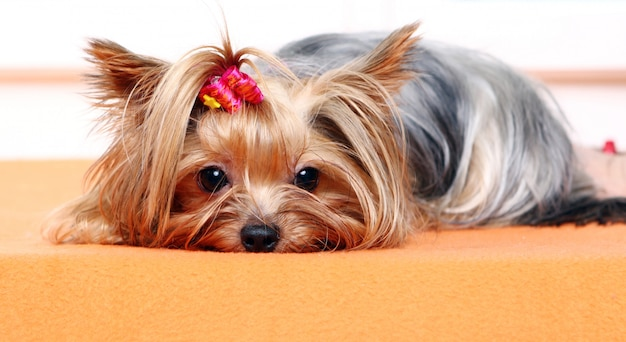아름답고 귀여운 요크 테리어 개