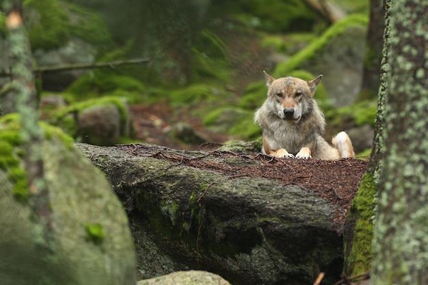 Красивый и неуловимый евразийский волк в красочном летнем лесу