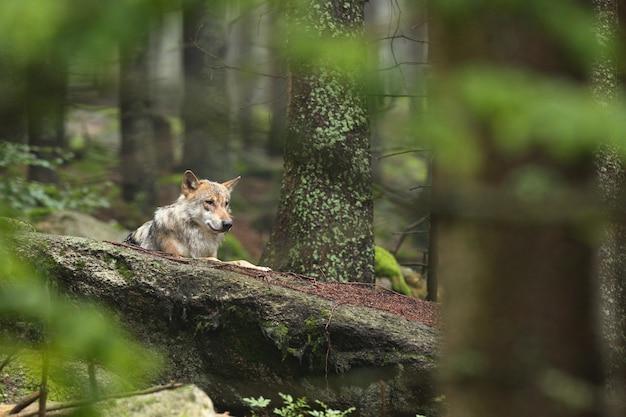 カラフルな夏の美しくとらえどころのないヨーロッパオオカミ