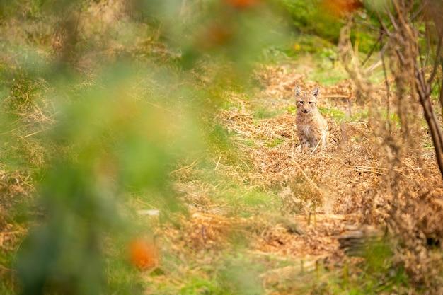 Красивая и находящаяся под угрозой исчезновения евразийская рысь в естественной среде обитания lynx lynx