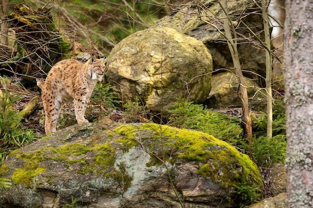 自然の生息地であるオオヤマネコの美しく絶滅の危機に瀕しているオオヤマネコ