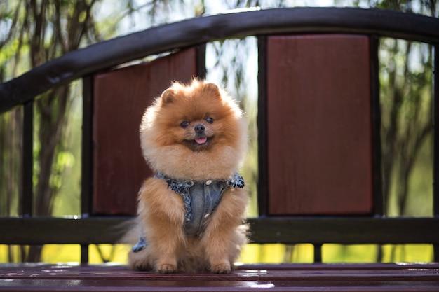 美しくふわふわのポメラニアン犬。公園のベンチに犬。散歩にポメラニアン
