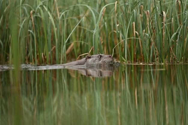 チェコ共和国の自然生息地にある美しく遊び心のあるカワウソlutralutra