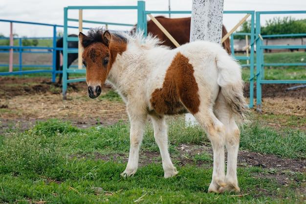 牧場を歩いている美しい、若いポニー。畜産と馬の繁殖。