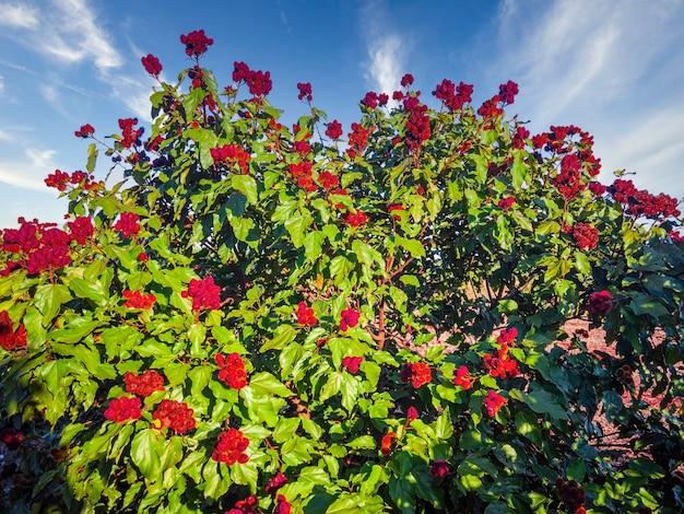 Красивая плантация аннато урукум в солнечный день с облаками в голубом небе.